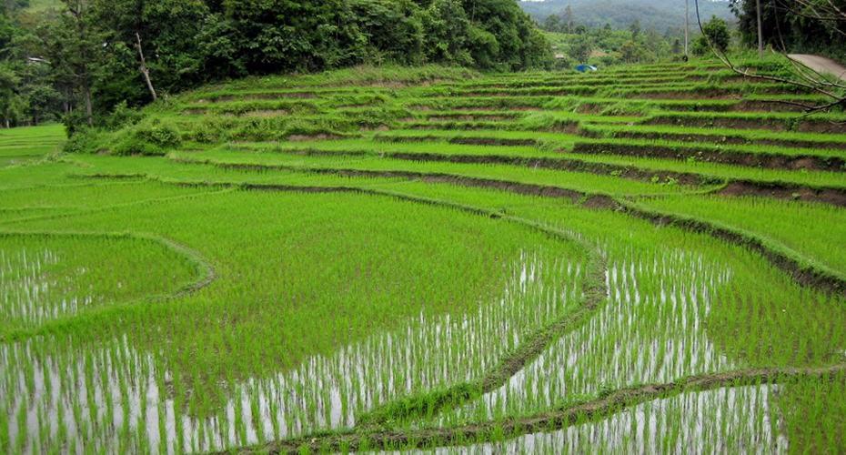 rice paddy chiang mai